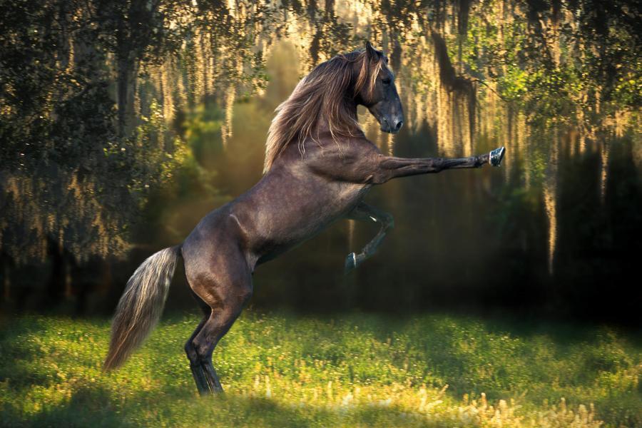black horse on hind legs